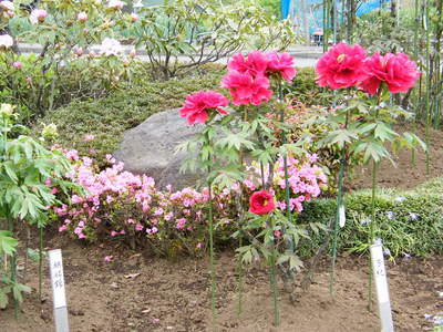 20090418045.jpg 町田ぼたん園