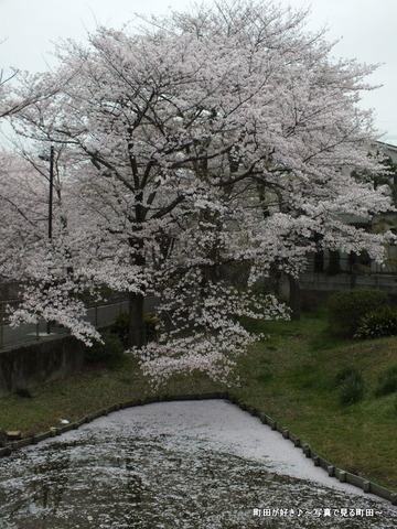 20130330111弁天橋公園のサクラが綺麗でした