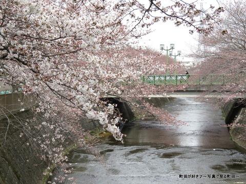 2015032825恩田川の桜並木