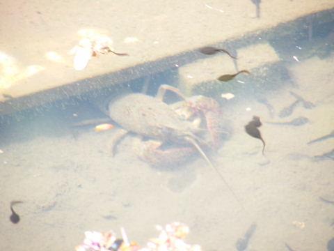 20090418134.jpg 薬師池公園 ザリガニ