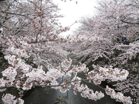 20160402125恩田川の桜