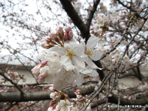 2015032808恩田川の桜並木