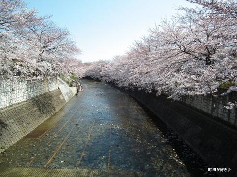 20120408097高瀬橋付近の桜、満開です