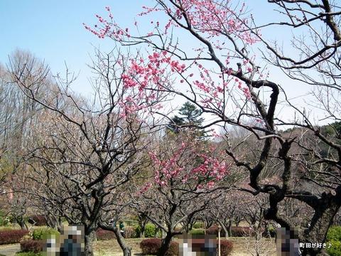 2012032053薬師池公園の梅の花