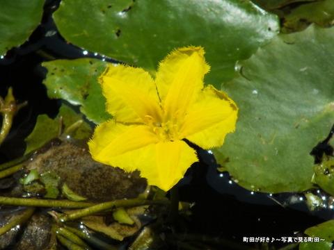 2013052658薬師池公園・睡蓮の池