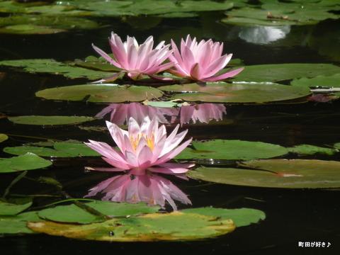 20110723088薬師池公園の睡蓮の花
