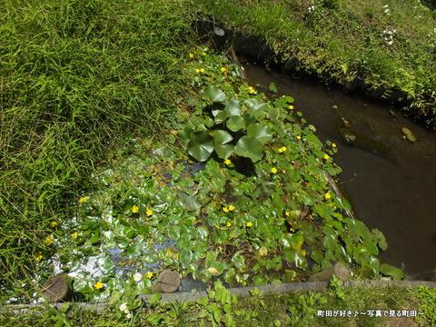2013052656薬師池公園・睡蓮の池