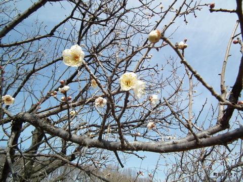 2011012933薬師池公園白梅