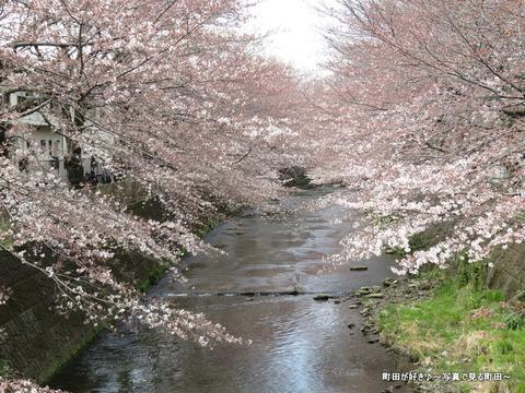 2015032844恩田川の桜並木