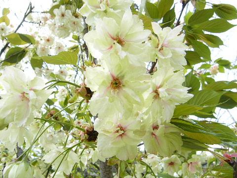 20090418130.jpg 薬師池公園のウコンザクラ(鬱金桜)