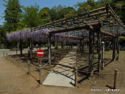 2013042731薬師池公園の六尺フジ