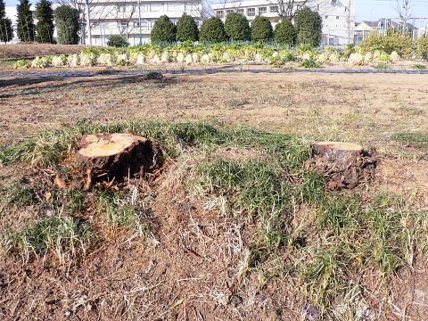20090208001.jpg 八重桜の樹が切られちゃった
