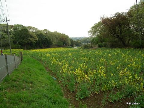 20120422068七国山の菜の花畑の様子