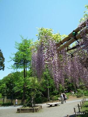 20120505180薬師池公園の藤の花