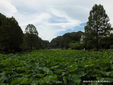 2013070606薬師池公園の大賀ハス
