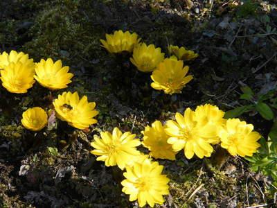 20090208031.jpg 薬師池公園の福寿草の花