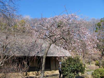 20090208027.jpg 薬師池公園のしだれ梅の花