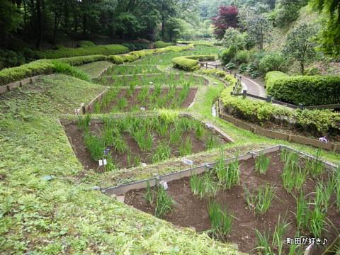 20100530036薬師池公園花菖蒲田