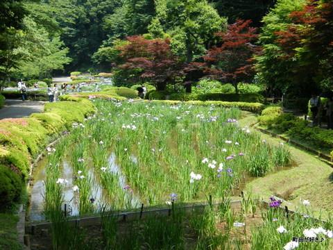 20100612195薬師池公園<ハナショウブ>