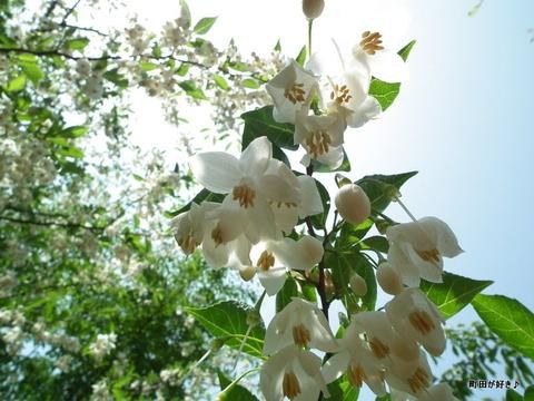 2011052150エゴノキ@薬師池公園