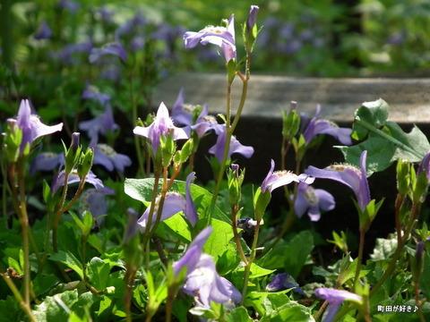 20110508111ムラサキサギゴケ(紫鷺苔)