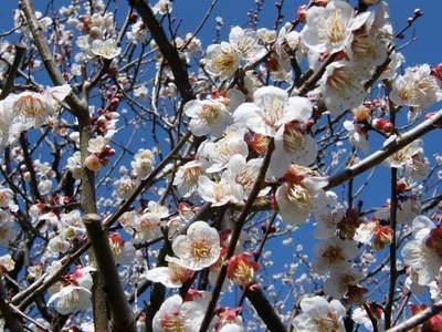 20090221041.jpg 薬師池公園の梅の花が見頃です