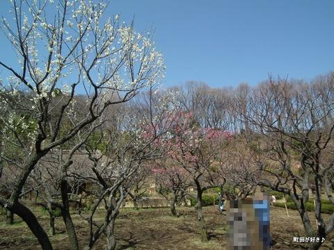 2012032041薬師池公園の梅の花