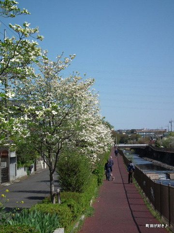 20110424004恩田川沿いのハナミズキ