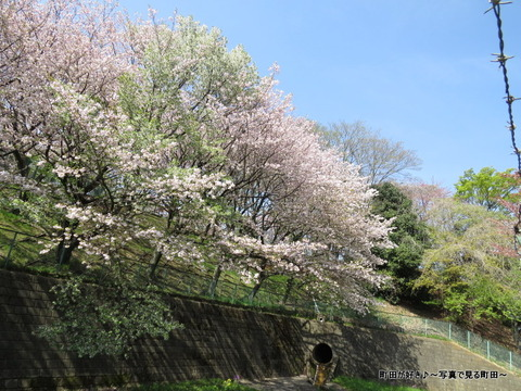 20140412033八重桜(ヤエザクラ)@城山公園(成瀬城跡)
