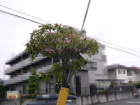 2009051705.jpg ど根性ツツジ 東京都町田市木曽東3