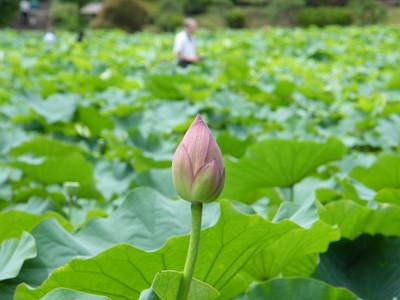 2009071115.jpg 薬師池公園の大賀ハスの花