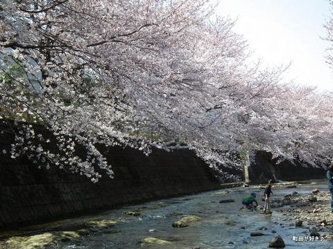 20120408110高瀬橋付近の桜、満開です