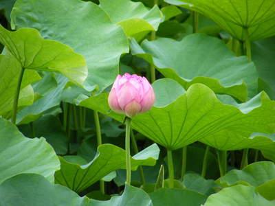 2009071124.jpg 薬師池公園の大賀ハスの花