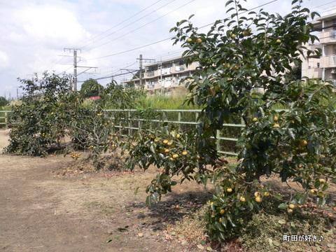 2009092318 境川 柿がたくさん実ってました