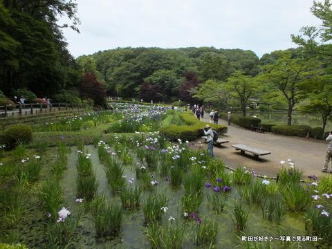 2013060829薬師池公園の花菖蒲が見ごろです