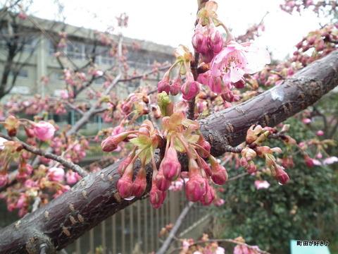 2012032429南大谷中まえの早咲きの桜