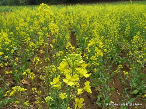 20140419093七国山の菜の花畑