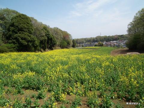 20110416020七国山の菜の花畑