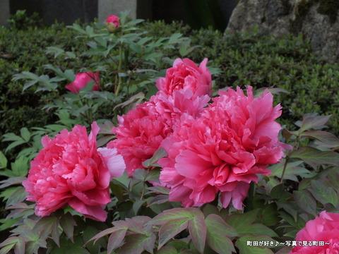 20130420195町田ぼたん園