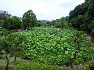 20090704042.jpg 薬師池公園の大賀ハスの花が咲き始めました