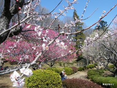 2010031462薬師池公園、梅花