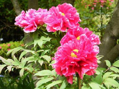 20090418073.jpg 町田ぼたん園 牡丹