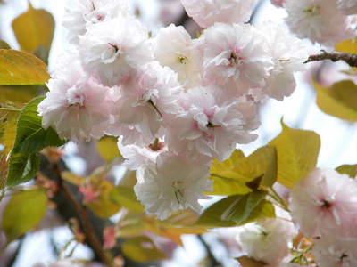 20090418166.jpg 薬師池公園 ヤエザクラ(八重桜)