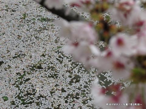 20150404165サクラの花びら@恩田川沿いの弁天橋公園