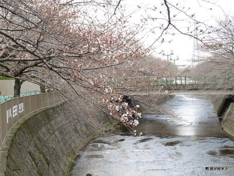 2016032114恩田川の桜