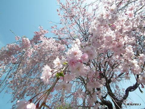 20110416041枝垂桜@町田ぼたん園
