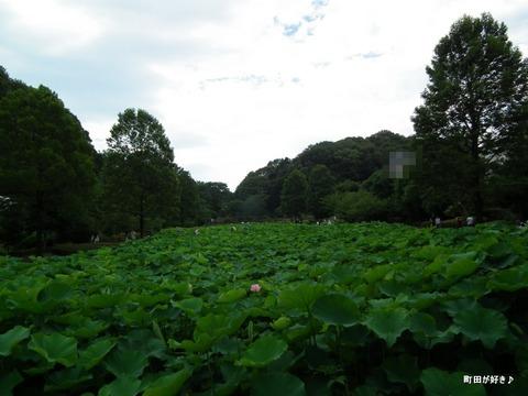2012071404薬師池公園の大賀ハス