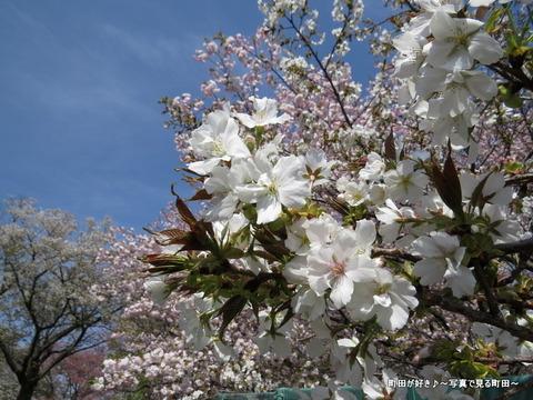 20140412016八重桜(ヤエザクラ)@城山公園(成瀬城跡)