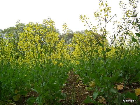 20120422065七国山の菜の花畑の様子