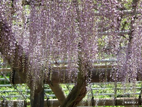 20120505177薬師池公園の藤の花